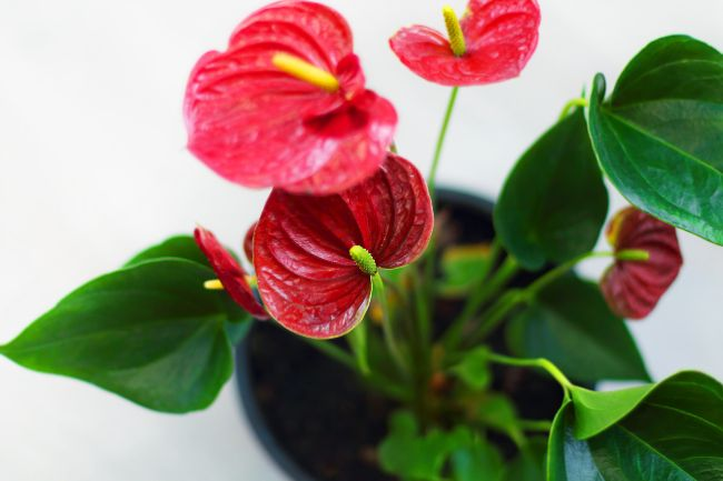 Flamingo Flower with red flowers (Anthurium)