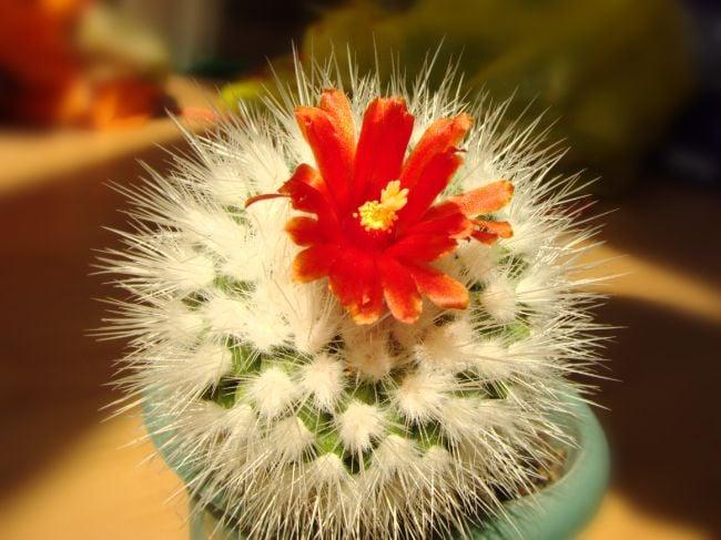 parodia nivosa cactus with red flowers