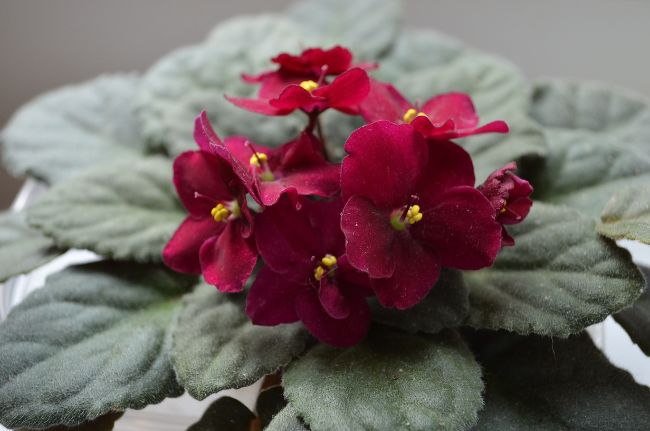 african violets houseplants with red flowers