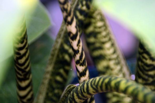 alocasia zebrina stems
