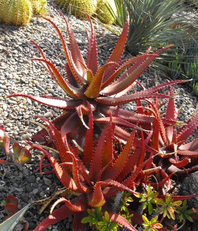 naturally red aloe plant Aloe cameronii