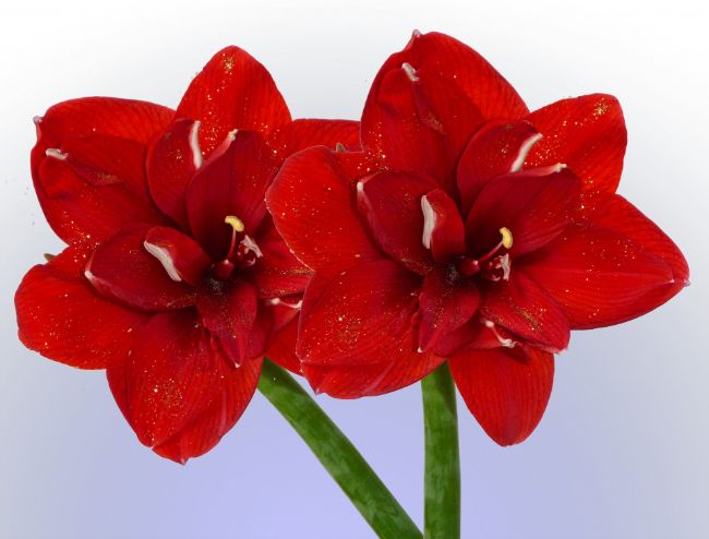 amaryllis houseplants with red flowers
