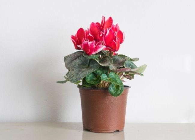 cyclamen houseplant
