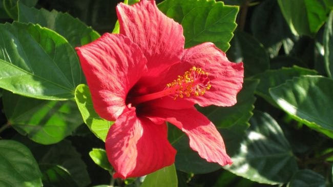 hibiscus houseplant with red flowers