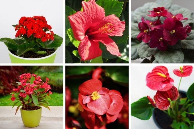 houseplants with red flowers