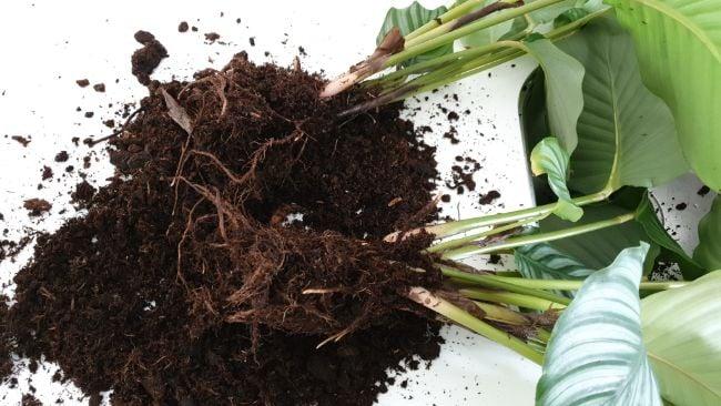 how to propagate a calathea plant goeppertia