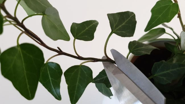 pruning english ivy indoor plant