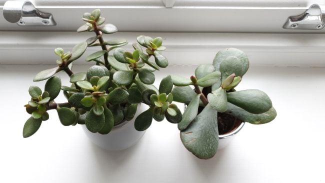 jade plant leaves turning brown