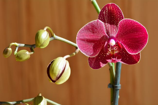 phalaenopsis orchid with red flowers