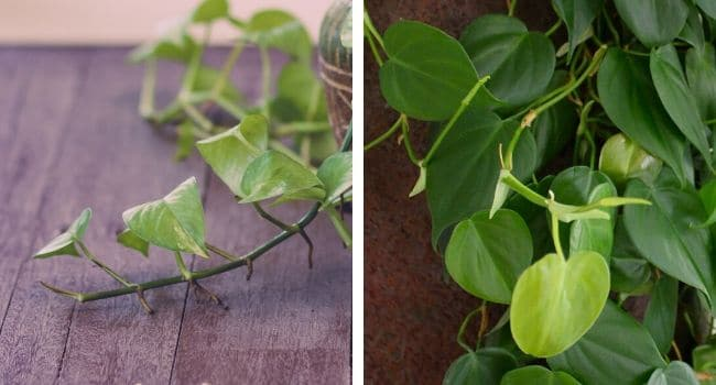 pothos vs philodendron aerial roots