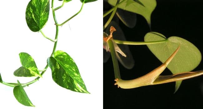 pothos vs philodendron cataphyll