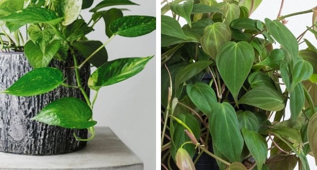 pothos vs philodendron leaf differences