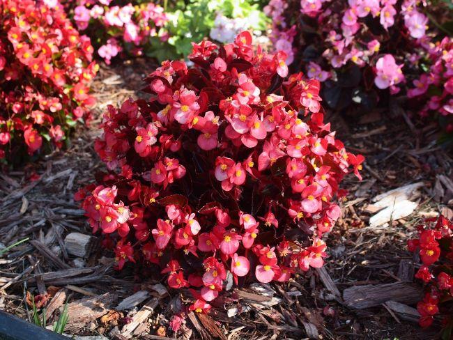 wax begonia blooming