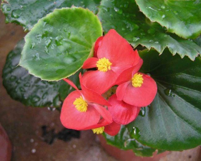 wax begonia care begonia semperflorens