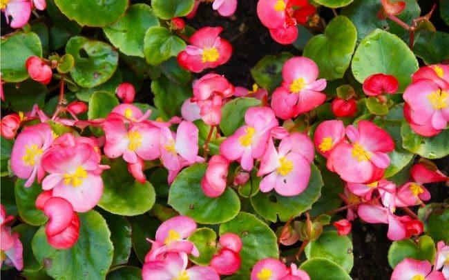 wax-begonia-care-begonia-semperflorens