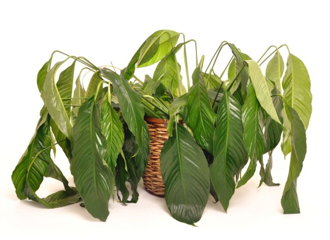 peace lily houseplant wilting