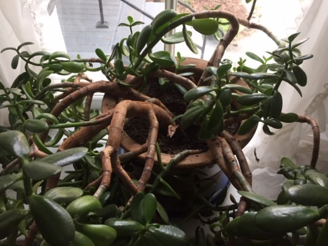 jade plant wilting due to overwatering