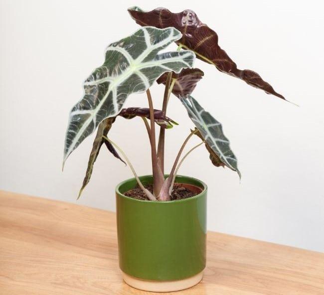alocasia varieties alocasia amazonica polly