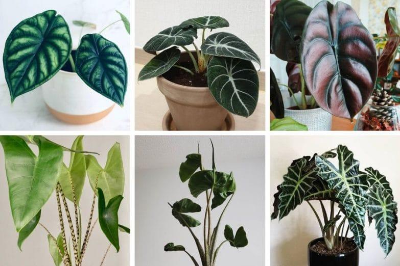 alocasia varieties