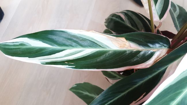brown spots on houseplant leaves