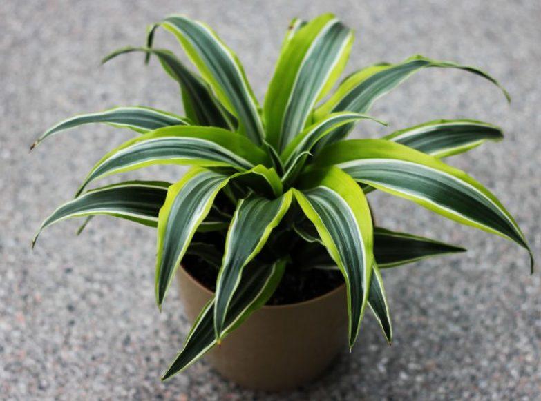 corn plant brown tips dracaena fragrans