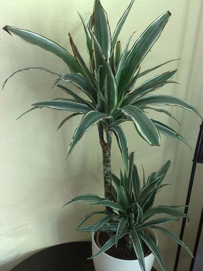 dracaena fragrans brown tips and leaves