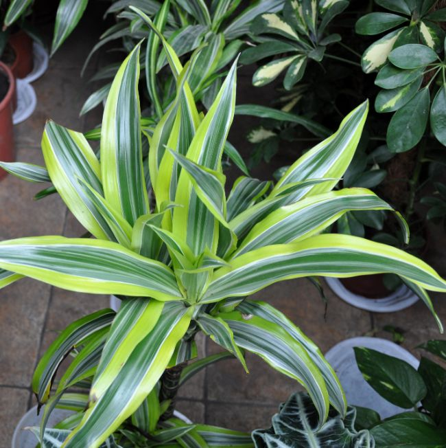 corn plant brown tips dracaena fragrans