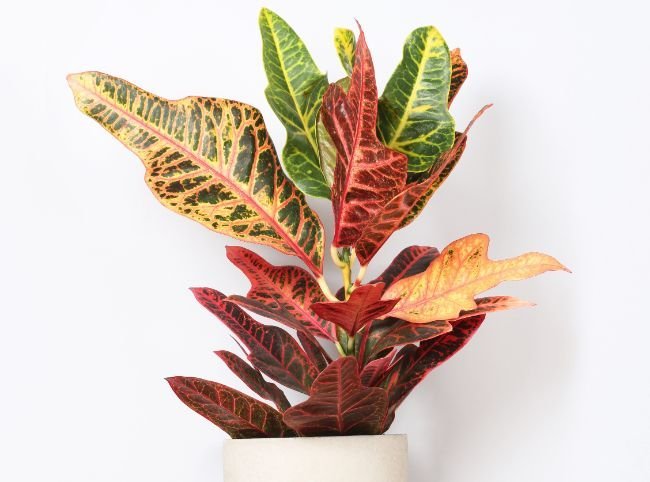 houseplants for direct sunlight croton