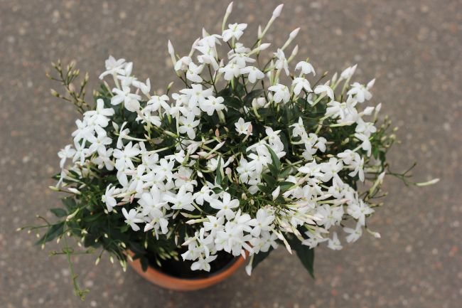 houseplants for direct sunlight jasmine