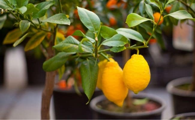 indoor meyer lemon houseplant