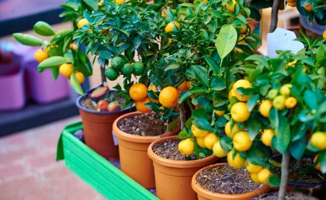tangerine tree houseplant