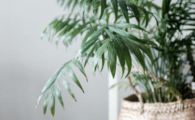 parlor palm brown tips Chamaedorea Elegans
