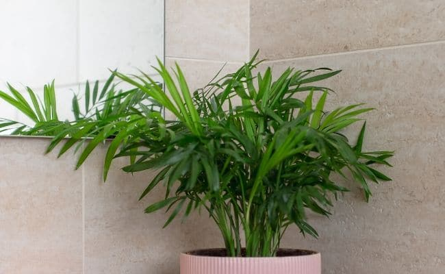 parlor palm in bathroom to help prevent brown tips