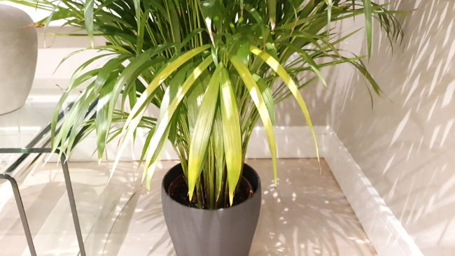 yellow leaves on houseplants dypsis lutescens