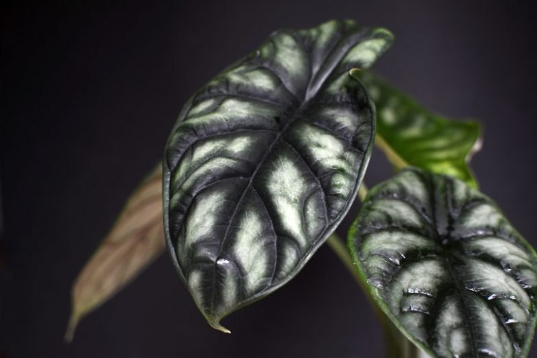 alocasia leaves drooping