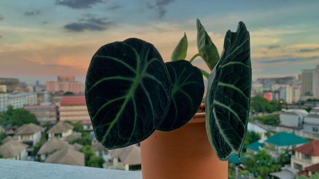 correct alocasia lighting to prevent drooping