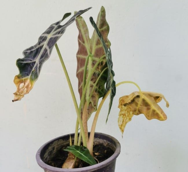 alocasia wilting due to underwatering