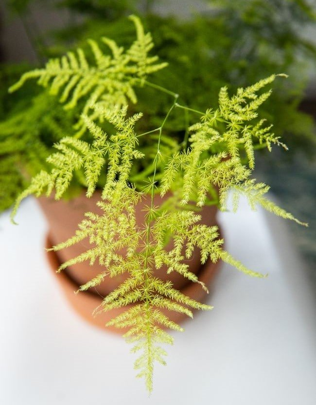 Why Is My Asparagus Fern Turning Yellow 7 Solutions Smart Garden Guide