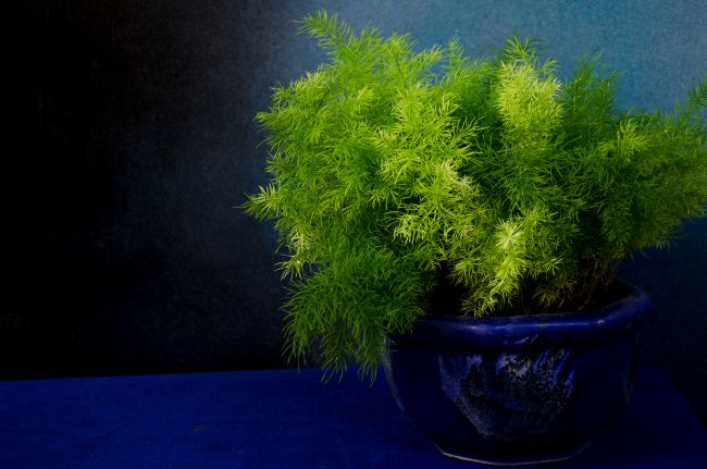 asparagus fern turning yellow