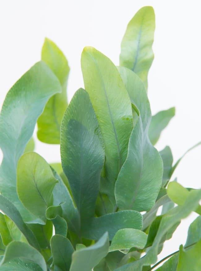 Phlebodium aureum leaf closeup