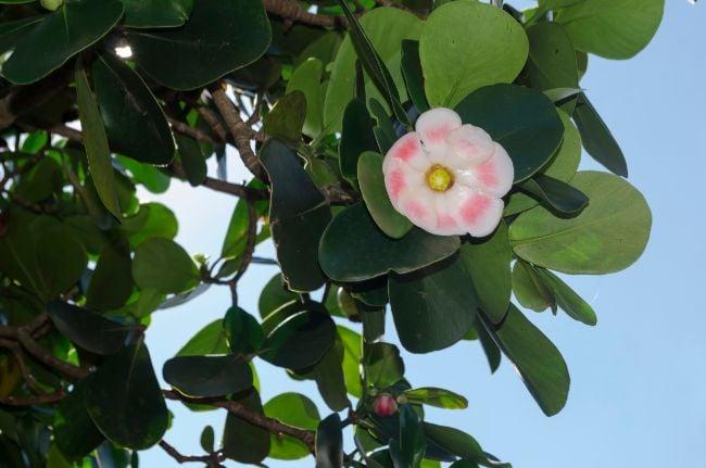 clusia rosea flower
