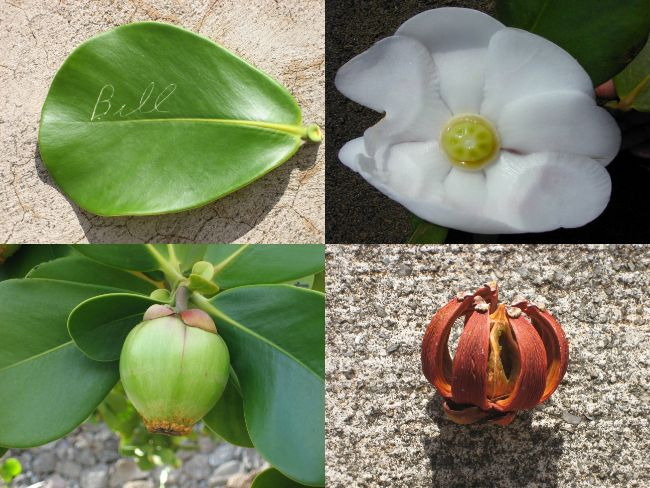 writing on autograph tree leaf, clusia rosea flower, fruit and seed