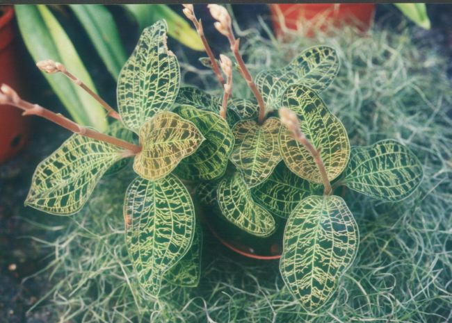 macodes petola flowers