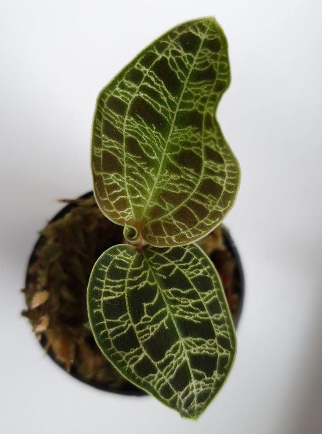 macodes petola leaf detail