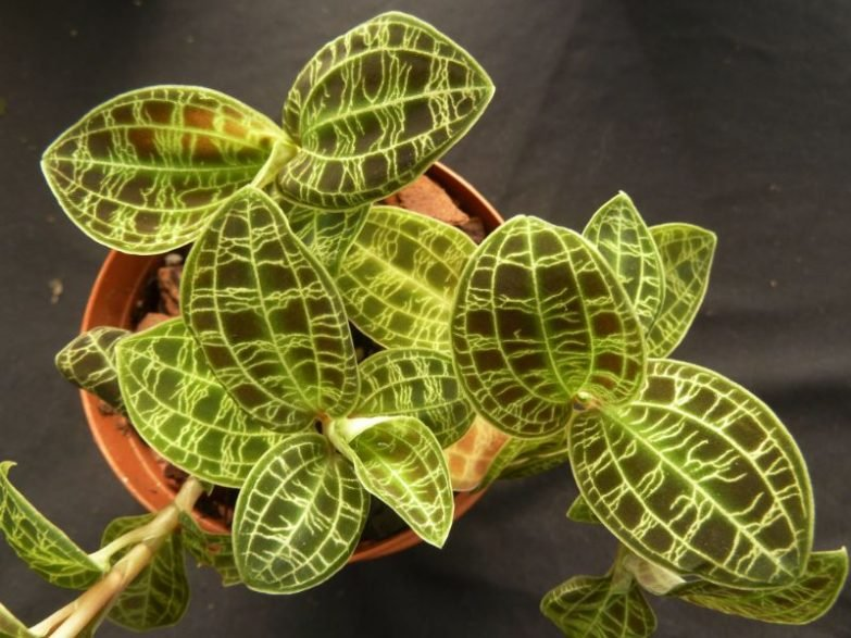 macodes petola care jewel orchid