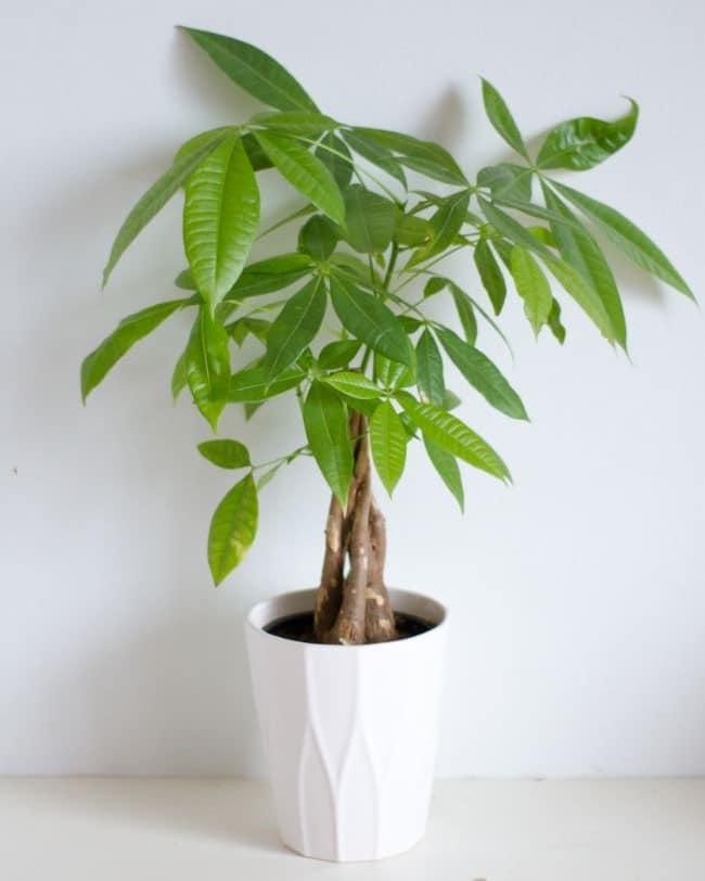 money tree dropping leaves pachira aquatica
