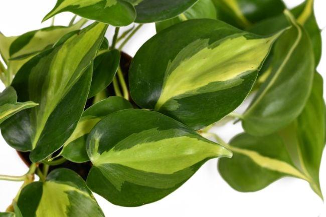 philodendron brasil leaf variegation