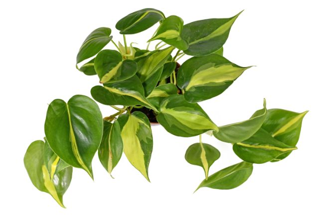 philodendron brasil care