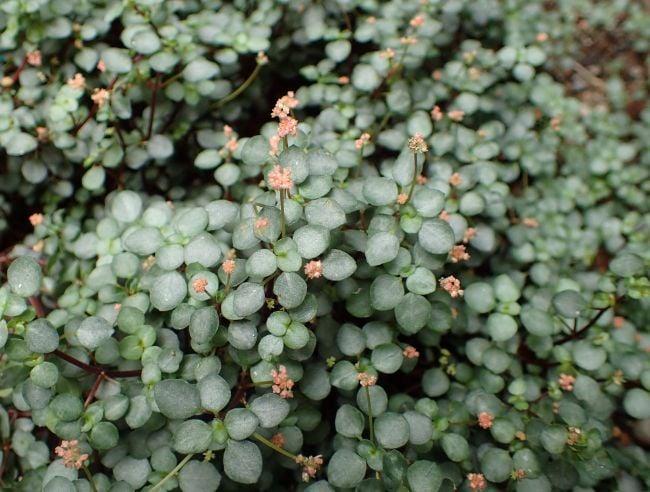 pilea glauca flowers