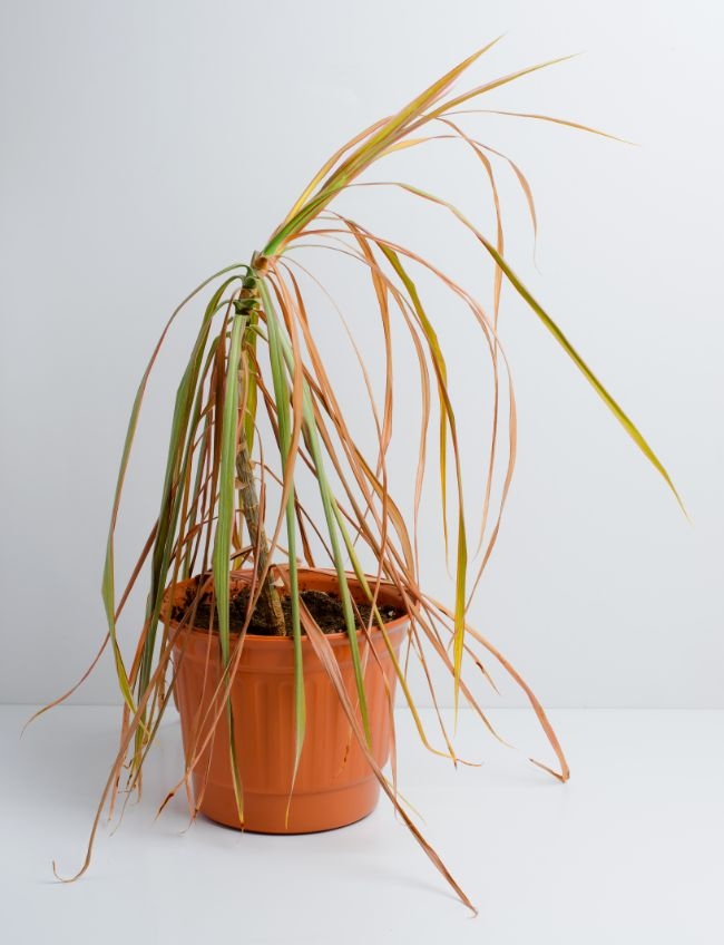 dracaena marginata wilting after repotting